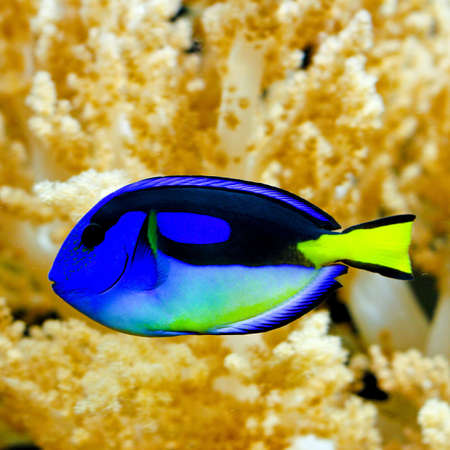 live coral: Blue regal tang fish in tropical aquarium