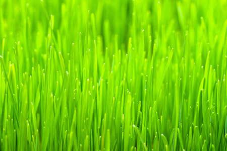 organically: Close up shot of organic wheat grass  Stock Photo