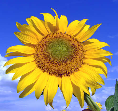 Macro shoot of sunflower with blue sky and clouds in the background Stock Photo - 508070
