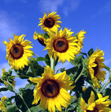 Sunflower tree with blue sky and clouds in the background photo