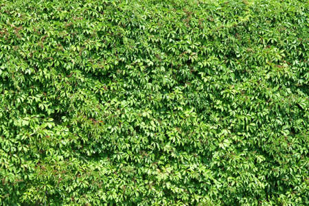 Natural fence made from green bush plants  Stock Photo