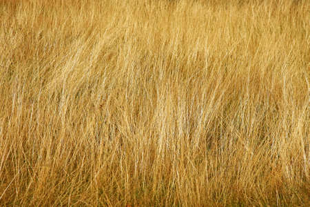 savanna: Close up shot of yellow savannah grass