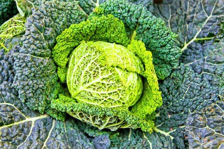 Close up shot of organic Savoy cabbage photo