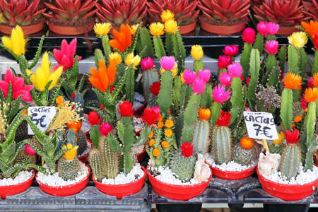 Cactus plants with colorful flowers in pots