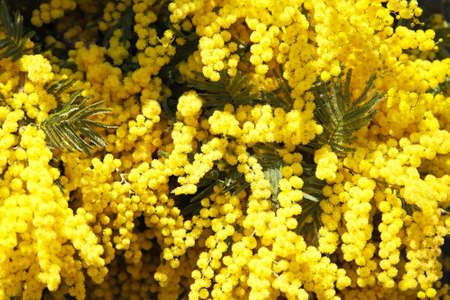 mimosa: Fresh yellow mimosa flowers bouquet in bloom