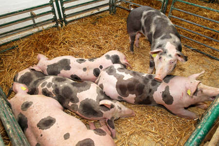 Several big pigs in pen at farm photo