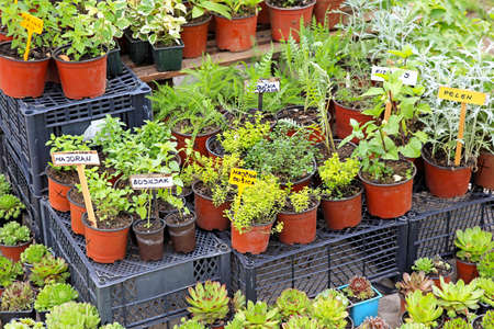 Natural edible plants and herbs in pots photo