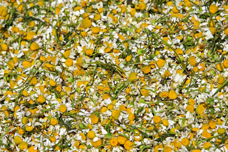 polen: Big bunch of natural camomile dried for tea