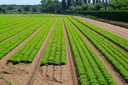Agriculture field with rows of green lettuce Stock Photo - 15174478