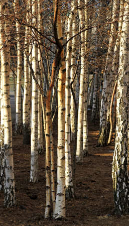 Detail of birch woods with fallen leafes Stock Photo - 16127072