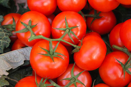 Clusters of red ripe tomatoes at vine Stock Photo - 16686539
