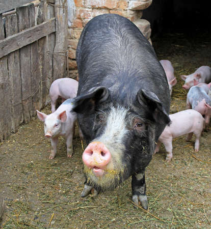 piglets: A domestic black sow and her newborn piglets