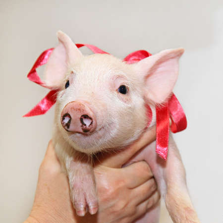 piglet: Small piglet with dirty nose and ribbon Stock Photo