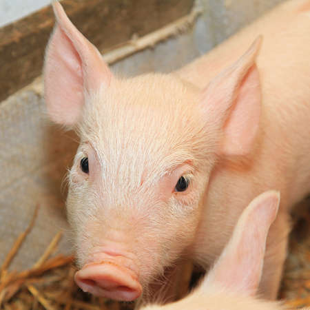 Small and funny pink piglet in pen Stock Photo - 17036828