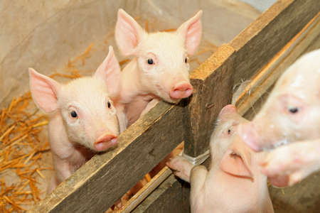 piglets: Flap eared loppy piglets in pen at farm Stock Photo