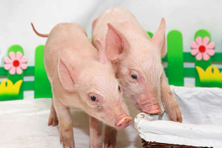 piglets: Two small pink piglets playing in studio