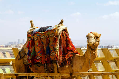 saddle camel: Camel with traditional Bedouin saddle in Egypt Stock Photo