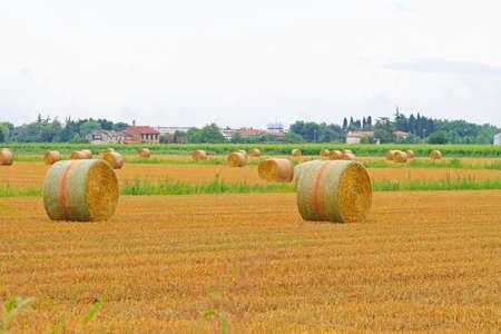 yellow  agriculture: Montones de heno rodando en el campo de la agricultura amarillo Foto de archivo