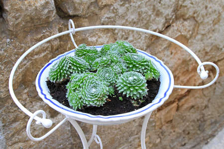 Spiny green cactuses plants in standing pot Stock Photo - 18397864