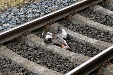 dead duck: Dead duck casualty at high speed railroad Stock Photo