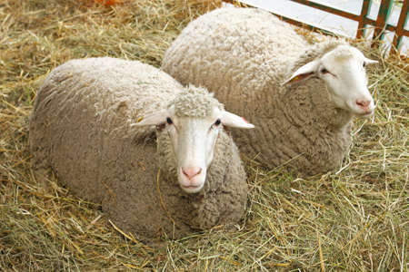 sheeps: Two white sheeps in pen at farm