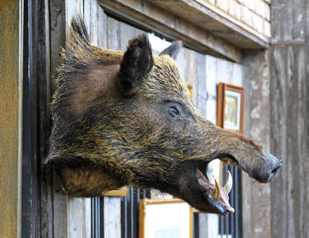 Wild boar head hunting trophy hanging at wall photo