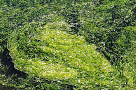 algal: Rapid accumulation of algal bloom in water
