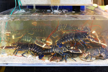 Live lobsters in tank at market