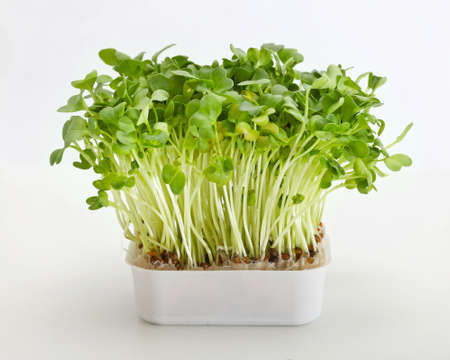 Fresh edible healthy green watercress in pot