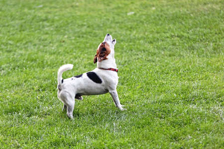 Annoying Jack Russell Terrier Barking and Howling