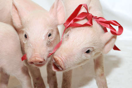 Several Pink Piglets Playing With Red Bow