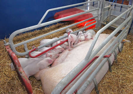 Pigglets Suckling Sow in Farrowing Pen at Modern Pig Farm