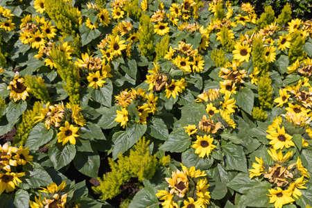 Bright Yellow Plastic Sunflowers in Park Garden Stock Photo