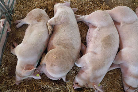 Dead Pigs in Parlor at Farm Stock Photo