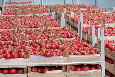 Crates of Red Tomato in Warehouse Storage