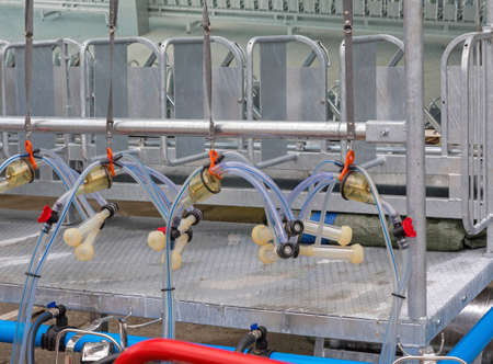 Automated Goat and Sheep Milking Suction Machine at Dairy Farm
