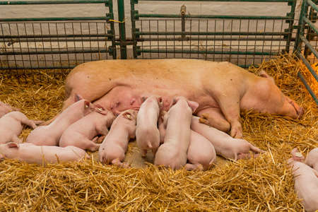 Sow and Suckling Piglets in Straw at Farm Stock Photo