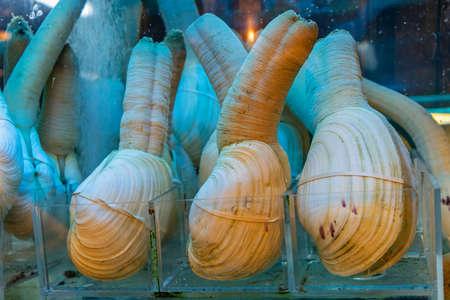 Big Pacific Geoduck Clams Fresh Seafood at Shelf 免版税图像