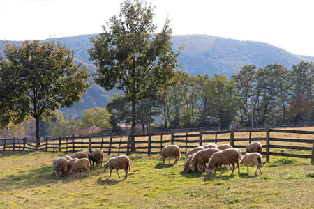 Flock of Sheep Grazing Meadow Sunny Day 写真素材