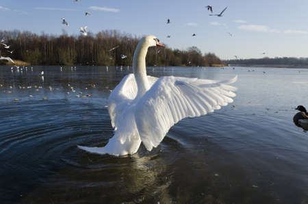 flapping: Swan Stock Photo