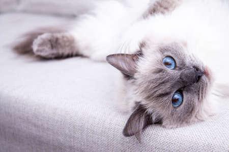소파에 누워 블루 colorpoint의 Ragdoll 고양이 스톡 콘텐츠