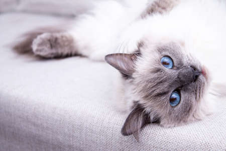 Blue colorpoint Ragdoll cat lying on the couch Stockfoto