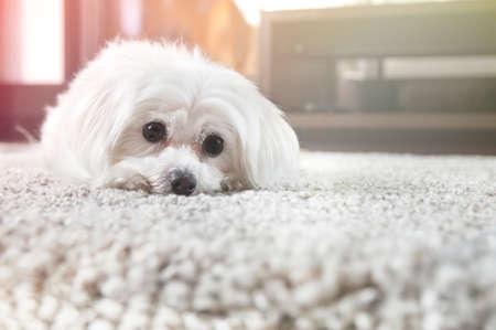 흰색 몰타어 강아지 카펫에 거짓말을 앞두고 찾고