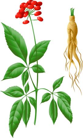 The root and stem of ginseng with berries, leaves. Illustration of herbs. For healthy living, traditional medicine, gardening. Isolated on a white background.
