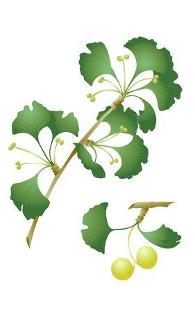 잎과 나무의 열매와 은행 나무 은행 나무 biloba 일러스트