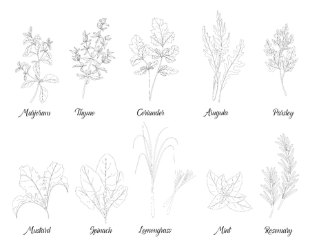 Herbs and spices for cooking, parsley,marjoram,rosemary,thyme, mustard,arugula, lemongrass,spinach,mint,coriander, natural organic food isolated outline vector EPS 10
