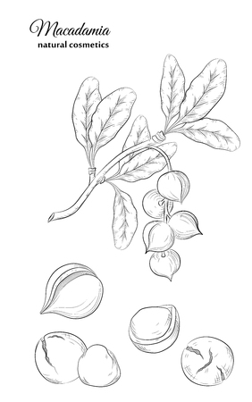 Macadamia leaves fruits and nuts. Cosmetic and medicinal plant. Natural organic remedy for face and body care and hair care. Vintage engraving vector illustration