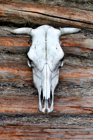 cow head: White Cow Skull Stock Photo
