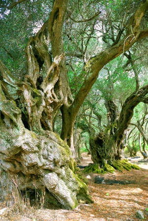 long lived: Old Olive Trees Stock Photo