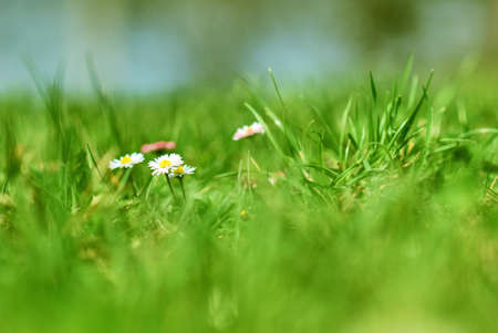 Spring Daisy Green Grass Background